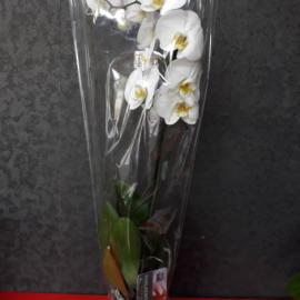 Архидея белая