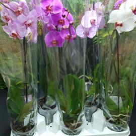 Архидея сиреневая